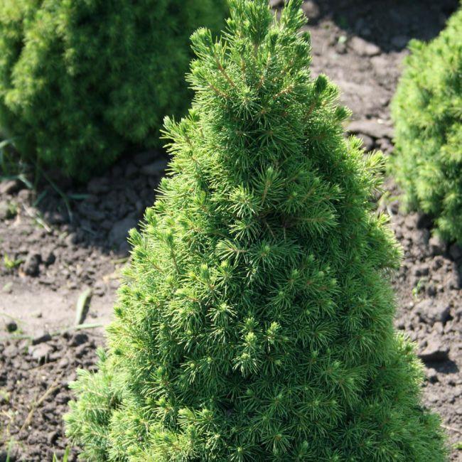 Ель коника выращивание в грунте 24